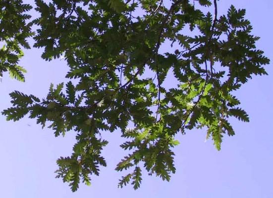 Quercus look Kotschy
