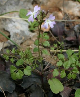 כרמלית נאה Ricotia lunaria (L.) DC.