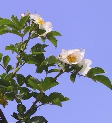 ורד הכלב Rosa canina L.