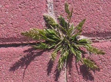 דגנין מצוי Rostraria cristata (L.) Tzvelev