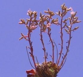 הפרחים ערוכים על הרבה ענפים צדדיים קצרים בראש עמוד התפרחת.