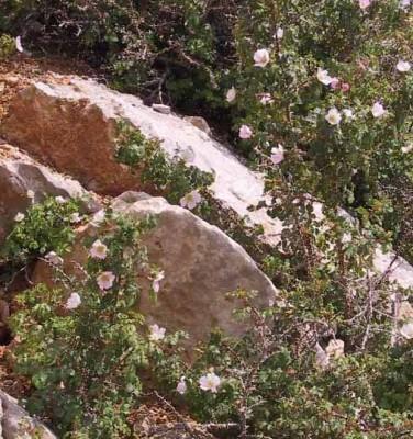 ורד דביק Rosa pulverulenta M.Bieb.