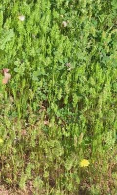 דגנין בירותי Rostraria smyrnacea (Trin.) H. Scholz