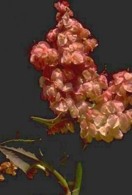 חומעה משולחפת Rumex vesicarius L.