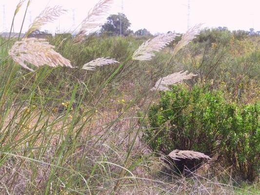 קנה-סוכר מצרי Saccharum spontaneum L. var. aegyptiacum (Willd.) Hack.