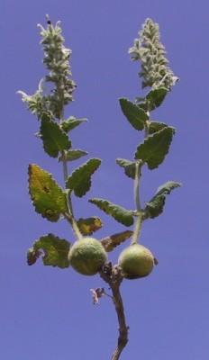 Salvia dominica L.