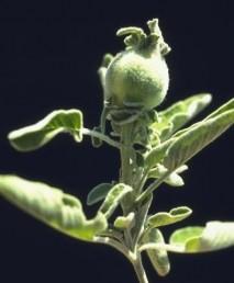 בעת הפריחה מתפתחים בראשי גבעולים עפצים דמויי תפוחים קטנים ייחודיים.