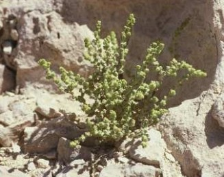 צבע הצמח הצעיר ירוק צהבהב.