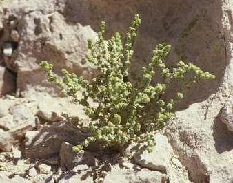 מלחית חומה Salsola inermis Forssk.