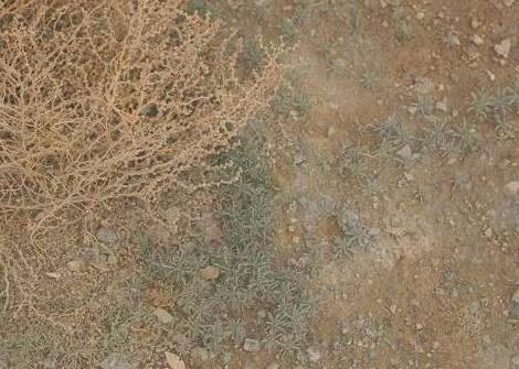 מלחית הירדן Salsola jordanicola Eig