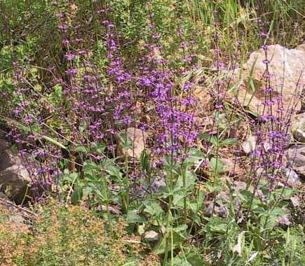 מרוות יהודה Salvia judaica Boiss.