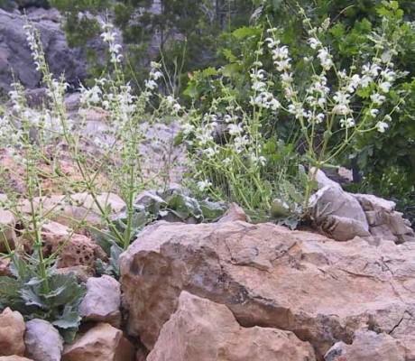 מרווה בוצינית Salvia microstegia Boiss. & Balansa