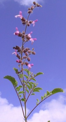 Salvia pinnata L.
