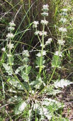 Salvia verbenaca L.