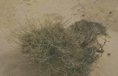 צתרה נבטית Satureja nabateorum Danin & Hedge