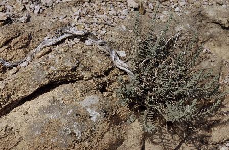 צתרה מדברית Satureja thymbrifolia Hedge & Feinbrun