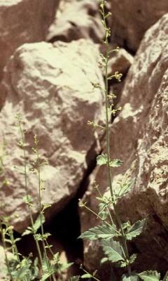 Scrophularia libanotica Boiss.
