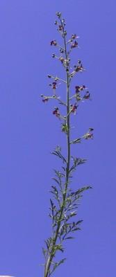 לוענית מצויה Scrophularia xanthoglossa Boiss.