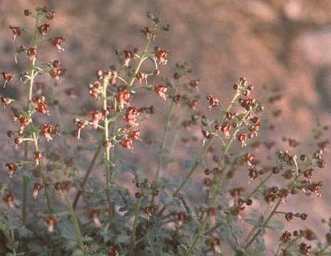 לוענית הסלעים Scrophularia xylorrhiza Boiss. & Hausskn.
