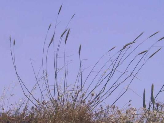 שיפון ההרים Secale montanum Guss.