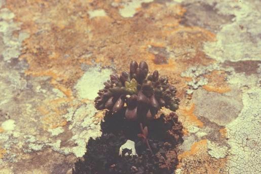 צורית חופית Sedum litoreum Guss.
