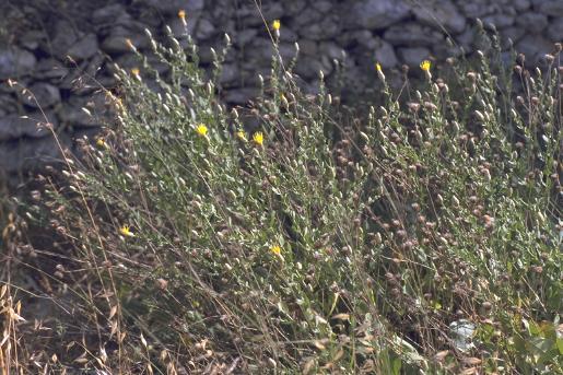 קרקפן צהוב Serratula cerinthifolia (Sm.) Boiss.