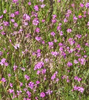 ציפורנית מגוונת Silene colorata Poir.