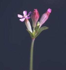 ציפורנית אדמומית Silene rubella L.