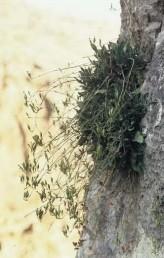התפרחת דמוית אשכול, עם 7-3 פרחים הנישאים על-פי-רוב על עוקצים שאורכם כאורך הגביע.