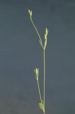 ציפורנית לילית Silene nocturna L.