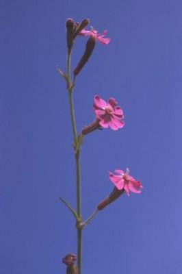 ציפורנית דמשקאית Silene damascena Boiss. & Gaill.