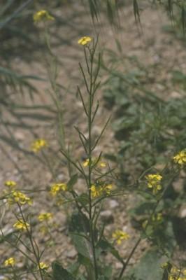 חרדל השדה Sinapis arvensis L.