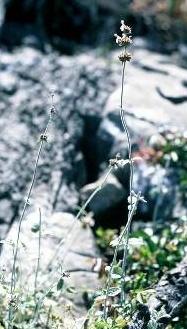 אשבל מופסק Stachys distans Benth.