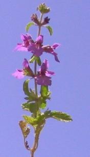 אשבל מעורק Stachys neurocalycina Boiss.
