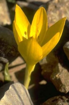חלמונית גדולה Sternbergia clusiana (Ker Gawler) Spreng.