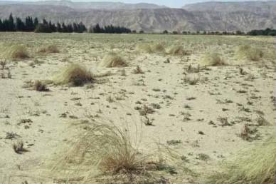 דגן רב-שנתי שגובהו עד 1 מ', מבודר, גדל בקרקעות חוליות בדרום הערבה (מצפון ללוטן).
