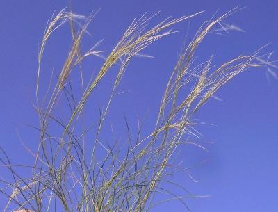 Stipagrostis lanata (Forssk.) de Winter