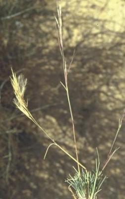 מלענן קהה Stipagrostis obtusa (Delile) Nees