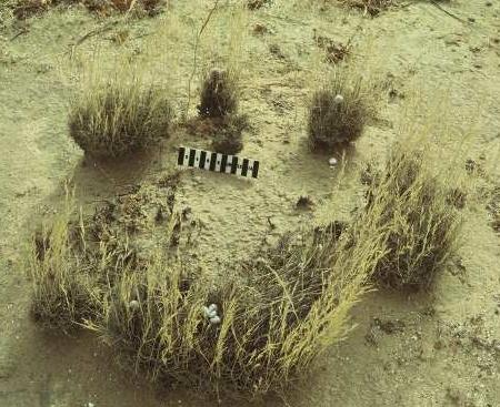Stipagrostis obtusa (Delile) Nees