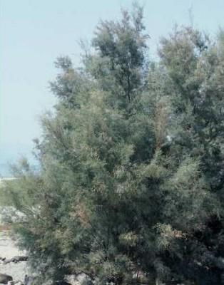אשל הירדן Tamarix jordanis Boiss.