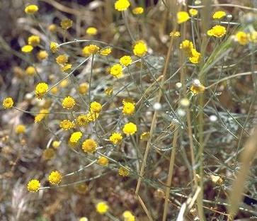 בן-חרצית גזור Tanacetum sinaicum (Fresen.) Decne. ex K. Bremer & C.J.Humphries