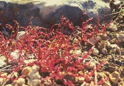 Telmissa microcarpa (Sm.) Boiss.