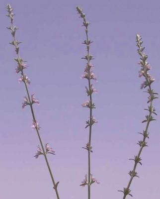 געדה כרתית Teucrium creticum L.