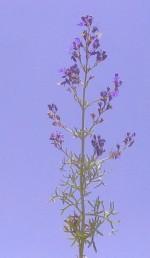 גובה הצמח 80-50 ס