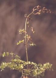 עשב רב-שנתי קירח. העלים מכחילים, גזורים-מחולקים לכ-3 אונות שמחולקות 3 פעמים.