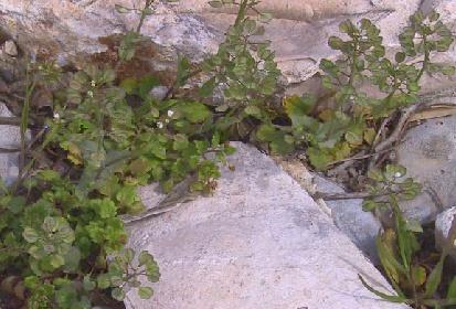 חופניים מצויים Thlaspi perfoliatum L.