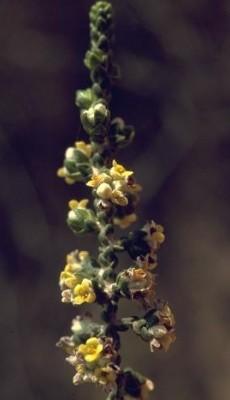 מתנן שעיר Thymelaea hirsuta (L.) Endl.