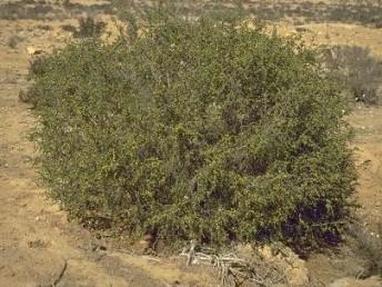 שיחים ירוקי-עד בעלי עלים קטנים רעופים בצפיפות.