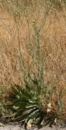 עשב דו-שנתי או רב-שנתי המפתח שושנת עלים תמימים מביניהם מבצבצים גבעולי תפרחת גבוהים (100-50 ס