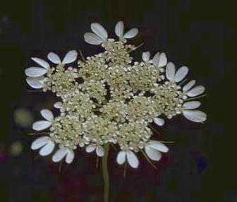 סלסילה מצויה Tordylium trachycarpum (Boiss.) Al-Eisawi & Jury
